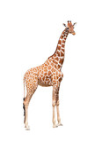 Giraffe to the utmost. It is isolated on the white - Fine Art prints