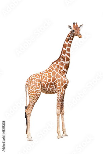 Staande foto Afrika Giraffe to the utmost. It is isolated on the white
