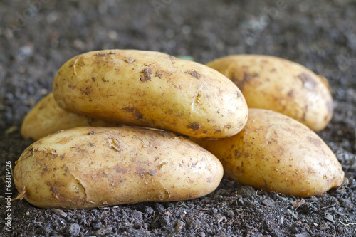 Fresh organic potatoes on the soil in the garden