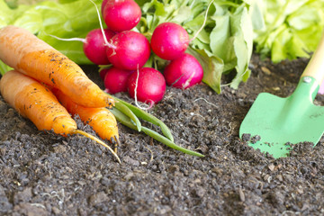 Fresh spring organic vegetables on the soil in the garden