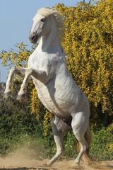 Steigendes Pferd - Hochformat