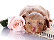 Puppy with a rose on a rug.