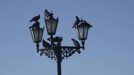 Pigeons on the streetlight