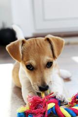 Jack Russell Welpe mit Hundeblick & Spielzeug