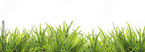 fresh green grass , isolated