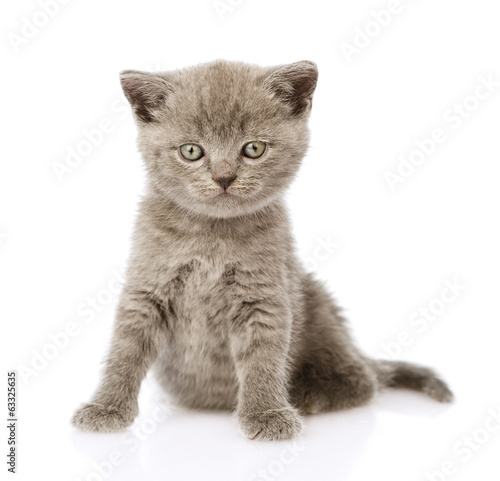 little british shorthair kitten sitting in front. isolated