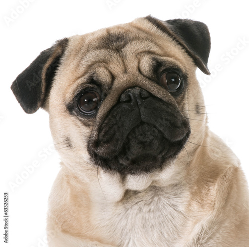 pug head portrait