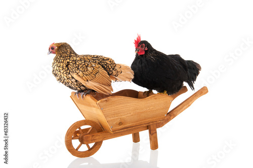 Chickens on wheel barrow