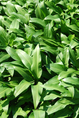Ramsons - edible, but similar to poisonous