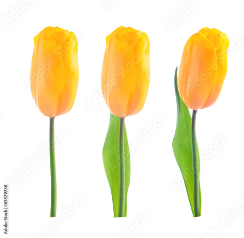 Buds of yellow tulips. Various options. isolation
