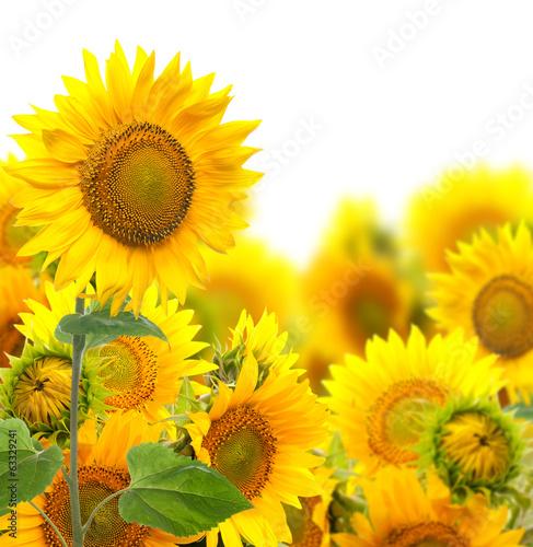 Fotobehang Zonnebloemen Field with sunflowers. isolation