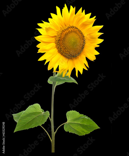 Sunflower isolated on black background.