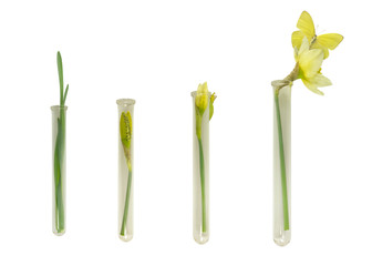 Narcissus and Butterfly Growth in Culture Tubes