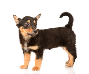 tiny mixed breed puppy dog in full height. isolated on white