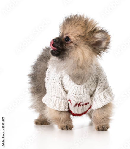 puppy wearing sweater