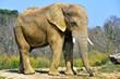 canvas print picture - Eléphant de savane (mâle)