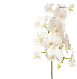 Fototapety white orchid isolated on white background