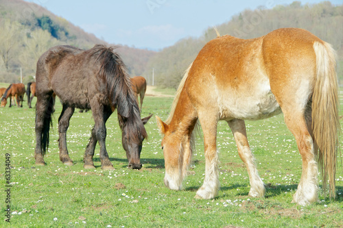 Beautiful horses graze together, Italy