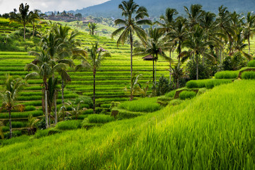 Green rice fields on Bali island, near Ubud