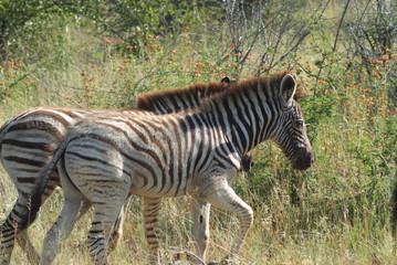 zebra del sudafrica savana parco kruger