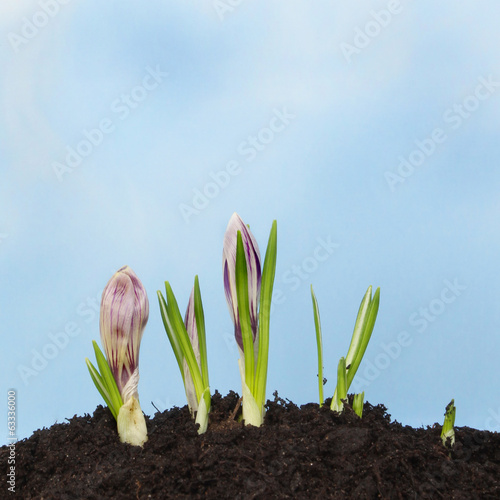 Crocus in soil