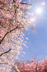 Japanische Kirschblüten und frischer Frühlings-Himmel :)