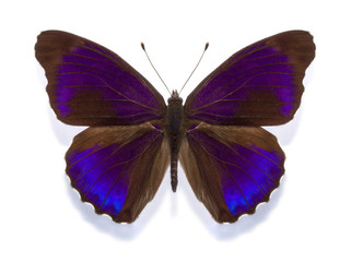 tropical butterfly Eunica alpais excelsa