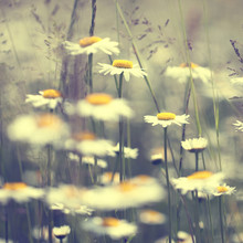 Fleurs de marguerite de cru