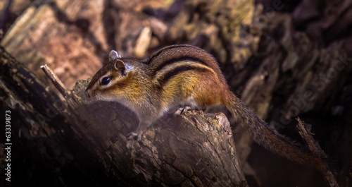 Sunbeam Chipmunk