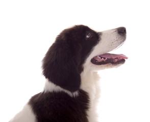 Aufmerksamer Hund im Profil