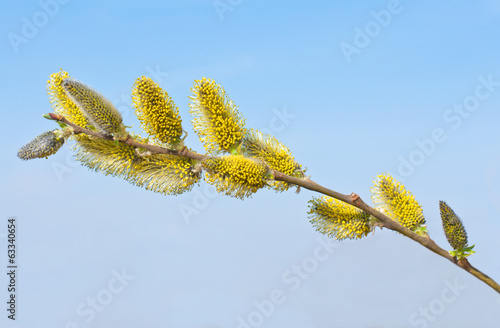 Blooming willow branch with flowers . Early Spring