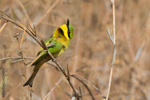 Little Bee-Eater with its head turned up