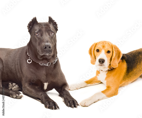 Portrait of a Staffordshire terrier and beagle