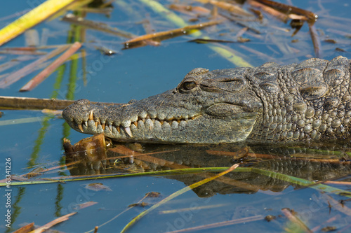 Aluminium Krokodil West African Crocodile resting in the water on floating reeds