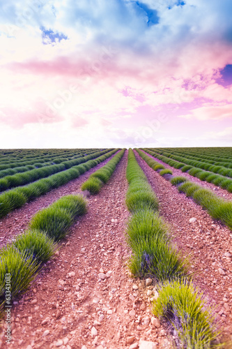 Sunrise over young lavender field