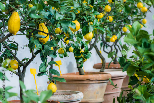 Lemon Tree Cultivation