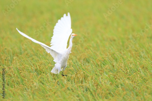Eastern Cattle egret (Bubulcus ibis) flying in Japan