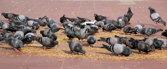 group of pigeon