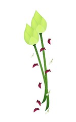 Fresh Lotus Flower on A White Background