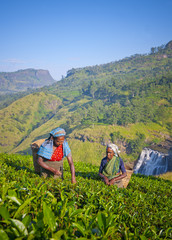 Sri Lankan Women Picking Tea Leaves