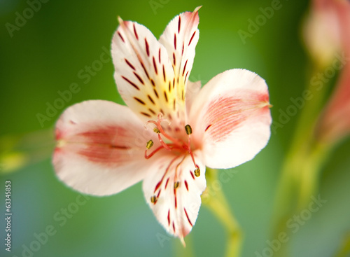 Alstroemeria lily flower macro on green background