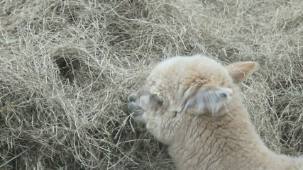 Alpaca eating hay, HD 720.