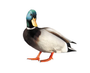 Colorful male mallard duck isolated on white background