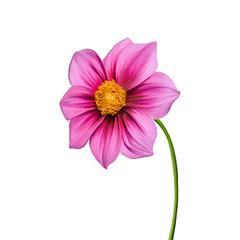 Dahlia flower. Pink flower, Spring flower.