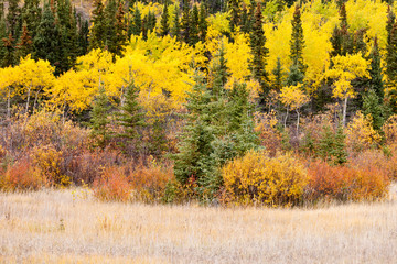Colorful fall Yukon Canada boreal forest taiga