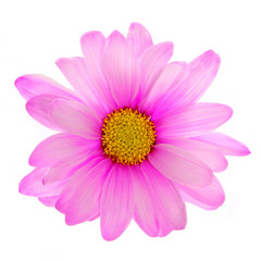 Pink daisy flower isolated on white