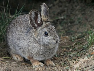 Columbia Basin Pygmy Rabbit