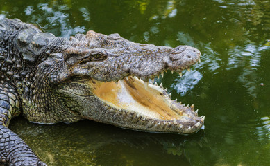 Close up of header crocodile.