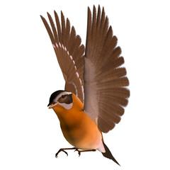 Songbird Grosbeak