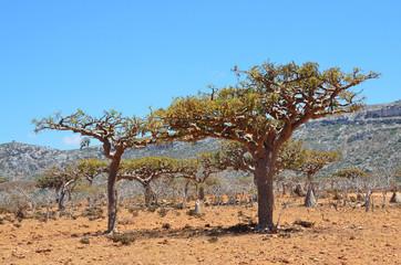 Йемен, остров Сокотра, плато Хомхил, ладанные и мировые деревья